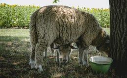 Paires de moutons curieux dans un pré ensoleillé d'été Photos libres de droits