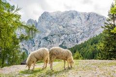 Paires de moutons frôlant dans les montagnes Photo libre de droits