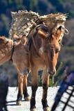 Paires de mules de regard tristes de travail, au Népal Photo stock