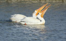 Paires de pélican blanc nageant ensemble Image libre de droits