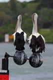 Paires de pélicans australiens (conspicillatus de Pelecanus) Photo stock