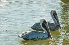 Paires de pélicans de Brown nageant Image libre de droits
