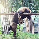 Paires de panda géant Photo libre de droits