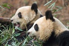 Paires de pandas Images libres de droits