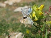 Paires de papillons Photographie stock