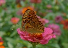 Paires de papillons cardinaux Photo libre de droits
