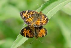 Paires de papillons en croissant du nord Photographie stock libre de droits