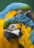 Paires de perroquets Photographie stock