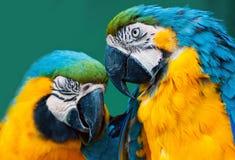 Paires de perroquets Photo stock