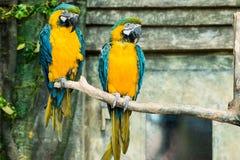 Paires de perroquets, ararauna bleu-et-jaune d'arums d'ara se reposant dessus Images libres de droits