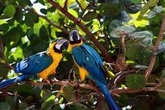 Paires de perroquets bleus d'ara Images stock