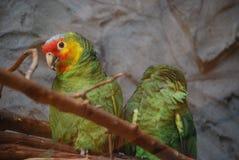 Paires de perroquets d'Amazone Photographie stock libre de droits