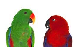 Paires de perroquets de lori Photographie stock libre de droits