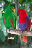 Paires de perroquets de lori Image libre de droits