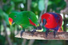 Paires de perroquets de lori Image stock