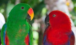 Paires de perroquets de Lori Images libres de droits