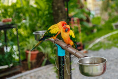 Paires de perroquets jaunes Images libres de droits