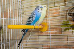 Paires de perroquets onduleux dans une cage Images libres de droits