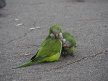 Paires de perroquets de rue à Barcelone photographie stock