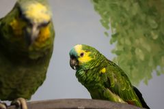 Paires de perruches vertes et jaunes Image stock