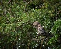 Paires de petits hiboux sauvages se lissant (noctua d'Athene) Images stock