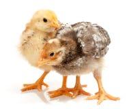 Paires de petits poulets se tenant sur le blanc Photos libres de droits