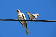 Paires de pigeon Images libres de droits