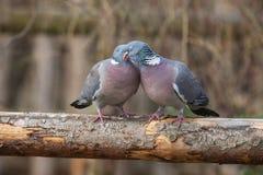 Paires de pigeon se reposant sur un arbre Photographie stock
