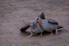 Paires de pigeons Photo stock