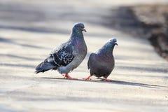 Paires de pigeons de roche d'oiseaux au printemps et de constructions une famille de soin Image stock