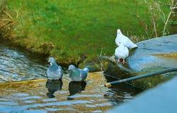 Paires de pigeons et de colombes se baignant photo stock