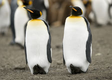 Paires de pingouin Images libres de droits