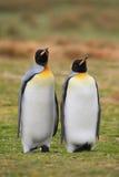 Paires de pingouin de roi en nature sauvage avec le fond d'herbe verte Image libre de droits