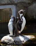 Paires de pingouins Photographie stock