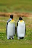 Paires de pingouins Pingouins de roi de accouplement avec le fond vert en Falkland Islands Paires de pingouins, amour dans la nat Photographie stock libre de droits