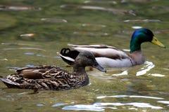Paires de platyrhynchos d'ana de canards nageant Photographie stock