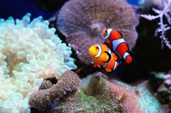 Paires de poissons de clown image stock