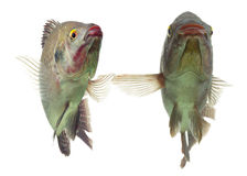 Paires de poissons de Tilapia Photos libres de droits