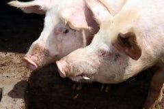 Paires de porc Image libre de droits