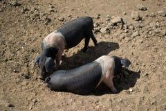 Paires de porcs de Saddleback, saleté Photos stock