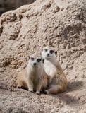 Paires de pose de Meerkats Images libres de droits