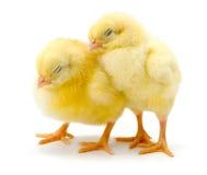 Paires de poulets jaunes nouveau-nés somnolents Images stock