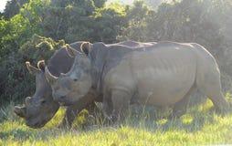 Paires de rhinocéros Images libres de droits