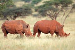 Paires de rhinocéros blanc Image stock
