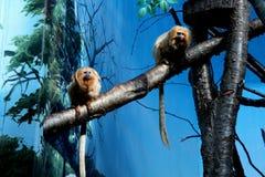 Paires de singe étrange dans le zoo images stock