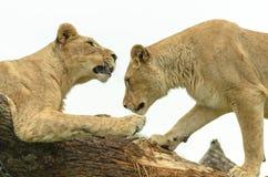 Paires de soeurs de lion Image libre de droits