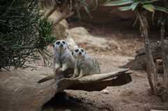 Paires de suricate (meerkat) Photo stock