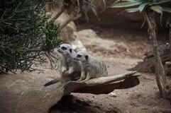 Paires de suricate (meerkat) Photographie stock libre de droits