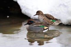 Paires de Teal sur l'étang d'hiver Image stock