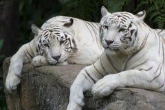 Paires de tigre Photographie stock libre de droits